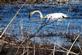 Swan. Taken April 30, 2016 Green Island, Iowa by Linda Goodman.