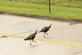 """Turkey crossing."". Taken September 5, 2020 Dubuque, Iowa by Veronica McAvoy."