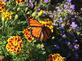 A Monarch butterfly stops by to visit a flower garden. Taken by Patti Arensdorf.