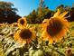 Golden sunflowers shine in a field. Taken August 8th In Vinton, Iowa by Lorlee Servin.