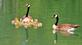 Reflections of a goose family on a pond.. Taken May 21, 2021 Althaus wetland, Asbury, IA by Veronica McAvoy.