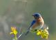Bluebird looks for a meal in a grassy field. Taken May 9, 2020 Mines of Spain, Dubuque County by Deanna Tomkins.