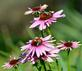 Bumblebees compete for coneflower nectar. Taken October 9, 2016 Dubuque Arboretum and Botanical Gardens by Deanna Tomkins.