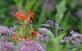 A hummingbird searches for food. Taken August 18 Bellevue State Park by Lorlee Servin.