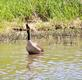 "A goose stretches it's neck and ""honks"" loudly.. Taken May 4, 2021 John Deere Marsh, Dubuque, IA by Veronica McAvoy."