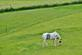 A horse grazes in a pasture.. Taken June 14, 2020 Circle Ridge road, IA by Veronica McAvoy.