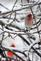 A finch hangs out on a snowy branch. Taken Mon. Dec. 11 in Dubuque by Lorlee Servin.