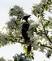 Blackbird showcased by white tree blossoms. Taken April 22, 2017 A.Y. McDonald Park by Deanna Tomkins.