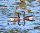 A tender moment between Canada ducks. Taken September 17, 2016 Wisconsin by Deanna Tomkins.