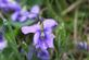 Violet with water droplets after rain.. Taken April, 2016 Mines of spain by Veronica McAvoy.