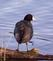 American Coot dries off after a river bath. Taken April 22, 2017 Lock and Dam No. 11, Wisconsin side by Deanna Tomkins.