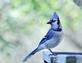 A blue jay visits the feeder.. Taken October 30, 2020 Swiss Valley nature center, Dubuque co., IA by Veronica McAvoy.