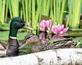 Duke and Daisy visit my pond and bond. Taken June 2, 2018 Backyard, Dubuque by Deanna Tomkins.