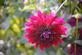 A dahlia blooms at the Arboretum. Taken in August in Dubuque by Lorlee Servin.