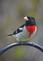 A rose-breasted grosbeak sits and looks pretty. Taken May in Dubuque in my yard by Lorlee Servin.