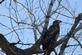 Immature eagle watches the sky for prey.. Taken February 17, 2017 O' Leary's Lake by Veronica McAvoy.