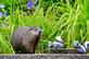 Groundhog checks out the garden. Taken July 24, 2016 Backyard by Deanna Tomkins.