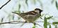 A house sparrow rests on a tree branch.. Taken May 25, 2020 Bergfeld  pond, Dubuque co., IA by Veronica McAvoy.