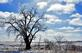 An icy oak tree stands out in a new snowfall. Taken February 25, 2017 Highway 151, outside Platteville by Deanna Tomkins.