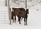 Young horses huddle together on a snowy day.. Taken January 30. 2021 East Dubuque, ILL by Veronica McAvoy.