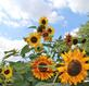 Sunflowers reach towards the sky.. Taken August 7, 2018 West 6th Street, Dubuque, IA by Veronica McAvoy.
