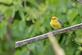 Prothonotary warbler rests on a piece of wood.. Taken July 9, 2021 John Deere Marsh, Dubuque, IA by Veronica McAvoy.
