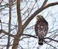 A red-shouldered hawk rests on a branch.. Taken January 11, 2021 Key West, Iowa by Veronica McAvoy.