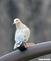 Dove comes by for a visit. Taken 3-27-20 Dubuque area  by Peggy Driscoll  .