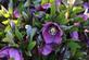 Purple Power. Taken April Dubuque Arboretum by Laurie Helling.