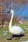 Trumpeter swan takes a walk.. Taken November 17, 2018 Hurtsville Interpretive Center, Maquoketa, IA by Veronica McAvoy.