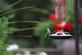 hummingbirds at deck feeder. Taken August 2017 Belmont Street, Dubuque, IA by Chuck Wessels.