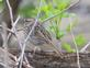 Bird on a branch. Possibly a song sparrow?