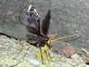 Ichneumon Wasp. Taken July 10, 2016 My backyard by John Lux.