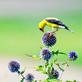 Goldfinch looking for seeds on a Globe Thistle flower. Taken August 13, 2019 Dubuque  by Deanna Tomkins.