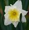 Daffodil in Bloom. Taken 4-8-21 Dubuque area             by Peggy Driscoll           .