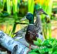 A pair of mallards land nearby a pond. Taken June 1, 2018 Backyard, Dubuque by Deanna Tomkins.