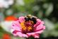 A bumble bee collects nectar from a flower.. Taken August 8, 2017 Four Mounds, Dubuque, IA by Veronica McAvoy.