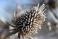 Frost on a bull thistle seed top on cold morning.. Taken January 6, 2018 Mines of Spain, Dubuque, IA by Veronica McAvoy.
