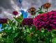 Zinnias. Taken Late September In my garden by Stephanie Beck.