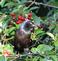 Blackbird picks a cherry from tree. Taken June 19, 2016 Backyard, Dubuque by Deanna Tomkins.