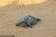 A turtle looking for a place to lay her eggs. Taken June 2021 East Dubuque, IL by Tricia Firzlaff.