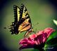 Swallowtail Butterfly and Zinnias  . Taken 7-24-21  Dubuque area          by Peggy Driscoll        .
