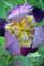 A purple iris shows off it's colors. Taken May 15 My yard, dubuque by Lorlee Servin.