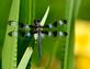 Dragonfly rests on water iris. Taken June 20, 2016 Backyard pond by Deanna Tomkins.