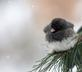 Junco fluffs ups its feathers to keep warm. Taken January 25, 2019 Backyard, Dubuque  by Deanna Tomkins.