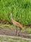 A sandhill crane walks threw a marsh in search of food.. Taken May 22, 2021 Near Heritage pond, Dubuque, IA by Veronica McAvoy.