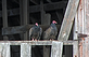 American Vultures. Taken while they wait for everything to wake up near Blanding Landing, IL by stuart.