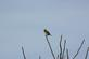 A meadow lark sits on top of a small tree.. Taken April 25, 2017 Bergfield pond. by Veronica McAvoy.