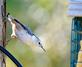 White Breasted Nuthatch seeks suet feeder. Taken October 21, 2016 Backyard by Deanna Tomkins.