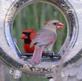 A pair of Cardinals share a birdfeeder. Taken June 18, 2016 Backyard, Dubuque by Deanna Tomkins.